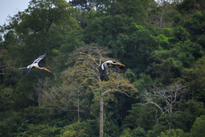 Os pares pintaram o voo do pássaro da cegonha contra selvagem natural verde fotos de stock royalty free