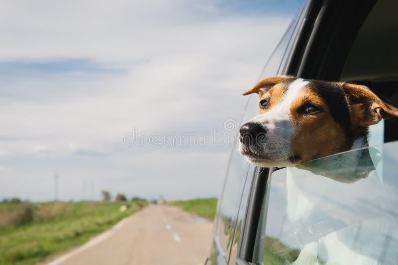 Os passeios do cão no carro imagem de stock royalty free