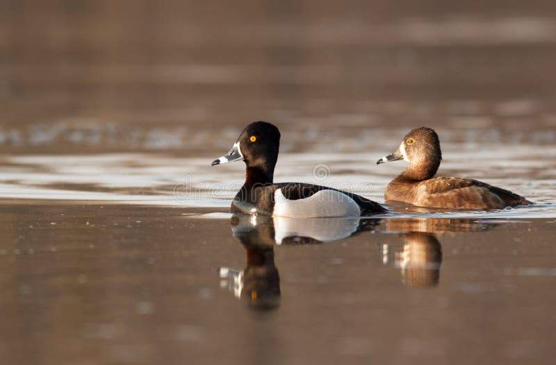 Os patos Anel-necked de Drake e da galinha descansam durante sua mola foto de stock royalty free