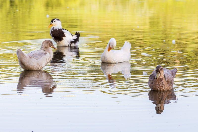 Os patos coloridos flutuam ao longo da água de rio no weather_ ensolarado imagem de stock