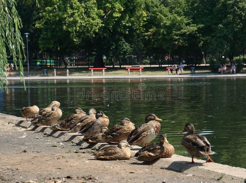 Os patos do grupo bask no sol imagem de stock royalty free