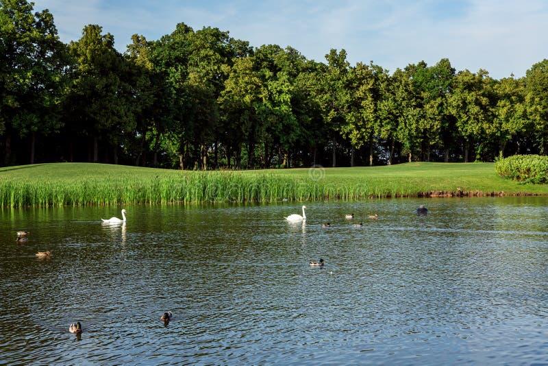 Os patos e as cisnes nadam na lagoa imagens de stock royalty free