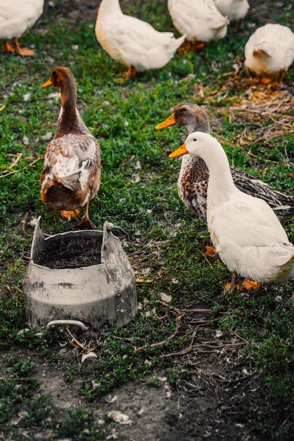Os patos em uma vila andam no gramado imagem de stock royalty free