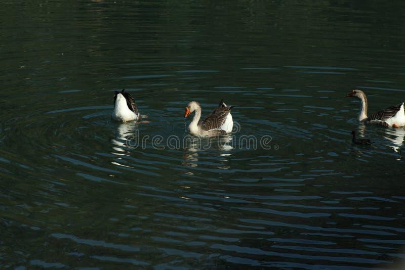 Os patos est?o refrescando-se em um rio imagens de stock royalty free
