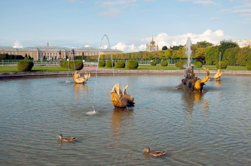 Os patos nadam na fonte indefinida de Mezheumniy A conserva Peterhof do museu do estado Rússia fotografia de stock
