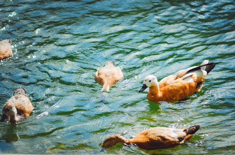 Os patos nadam no lago e obtêm o alimento na água fotografia de stock royalty free
