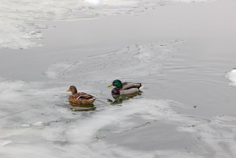 Os patos selvagens fêmeas e masculinos no meio do gelo de flutuação novo na água surgem imagens de stock