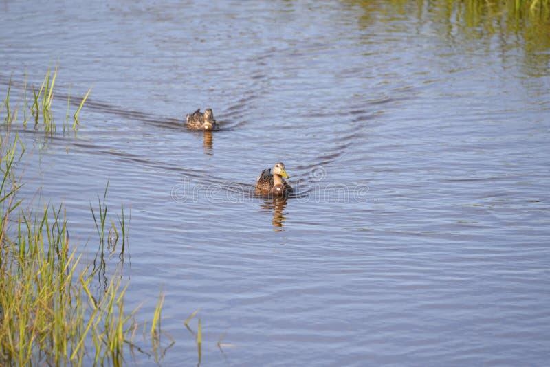 Os patos viajam como um par na via navegável do Greenway da angra de Egans em Amelia Island, Florida fotografia de stock royalty free