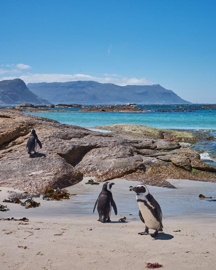 Os pedregulhos latem pinguins fotografia de stock