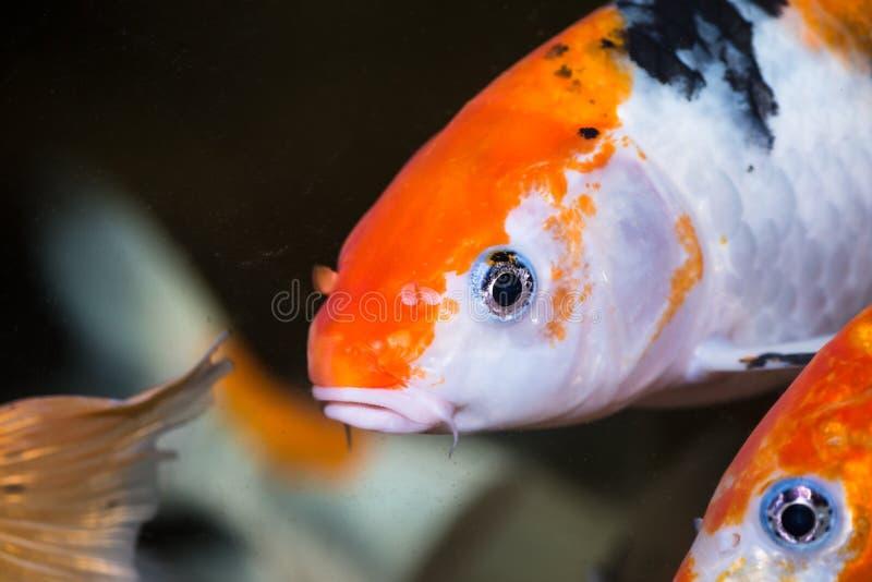 Os peixes da carpa de Koi fecham-se acima foto de stock royalty free
