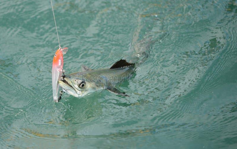Os peixes da cavala espanhola travaram no gancho e na linha de pesca fotos de stock royalty free