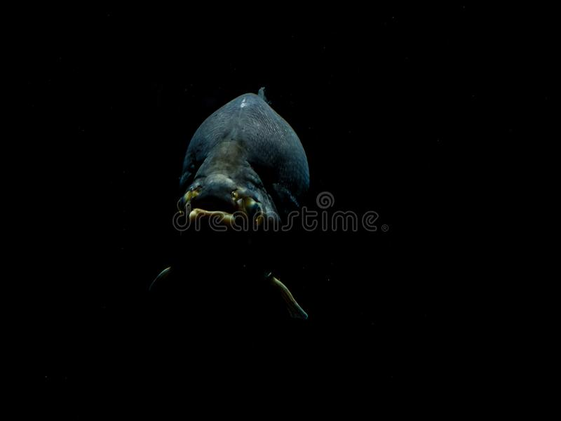 Os peixes de mar profundo fecham-se acima de dramático no jardim zoológico de Amsterdão foto de stock royalty free