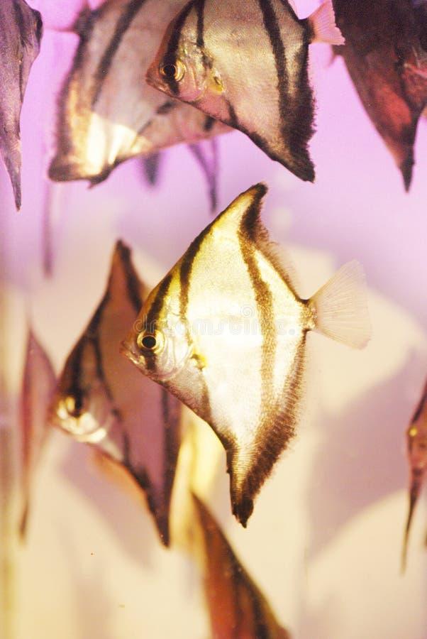 Os peixes do anjo fotos de stock royalty free
