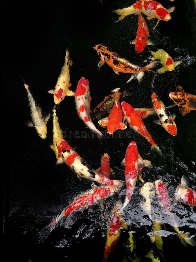 Os peixes do arando estão comendo a pelota da alimentação no ‹Tailândia de Bangkok†do ‹do at†do ‹do pond†Alguns estão comen foto de stock