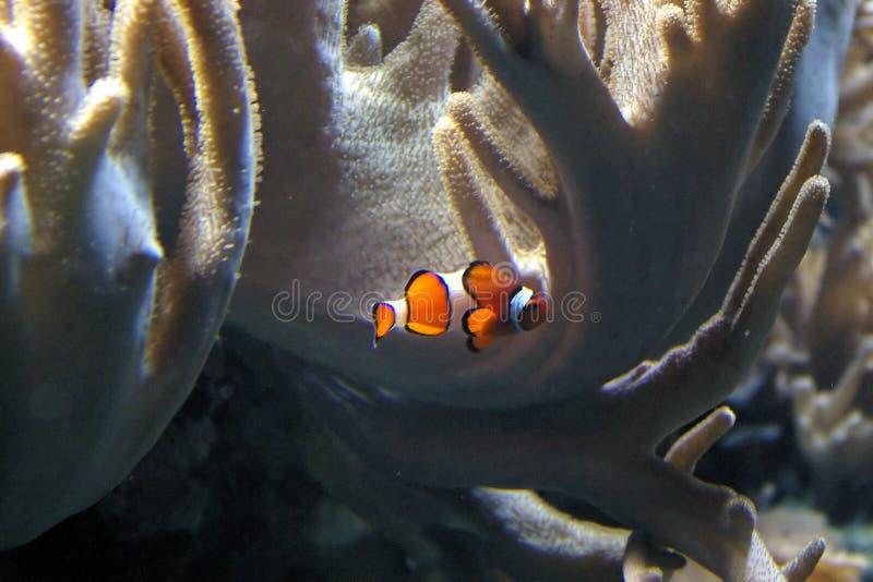 Os peixes do palhaço foto de stock royalty free