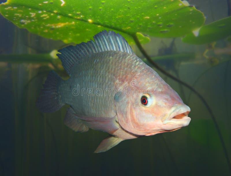 Os peixes do Tilapia fotos de stock