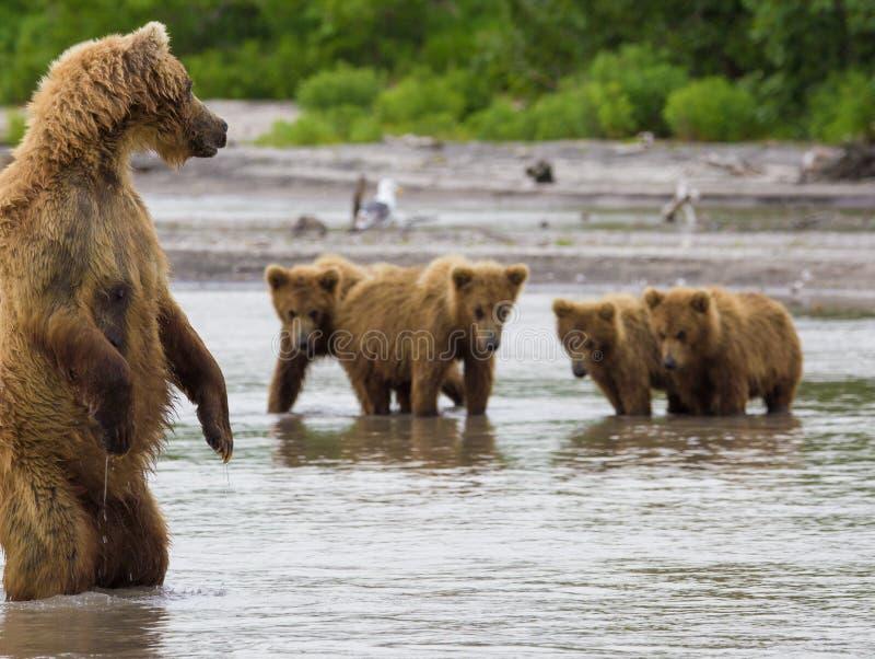 Os peixes do urso marrom foto de stock royalty free