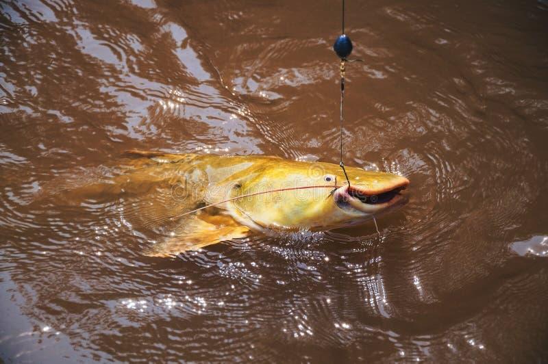 Os peixes enganchados por um pescador na água surgem Peixes conhecidos como J fotografia de stock royalty free