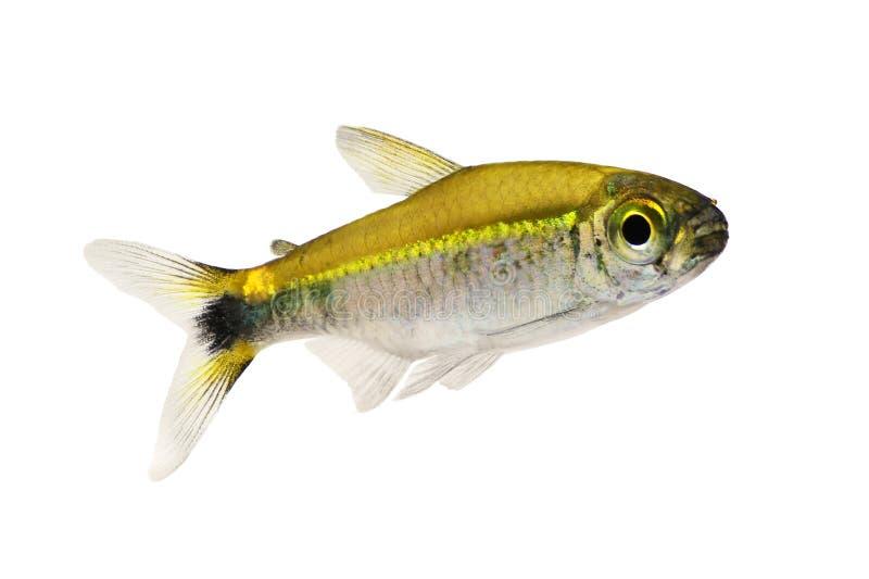 Os peixes hyanuary do aquário do Hemigrammus tetra de Costello esverdeiam o néon imagem de stock royalty free