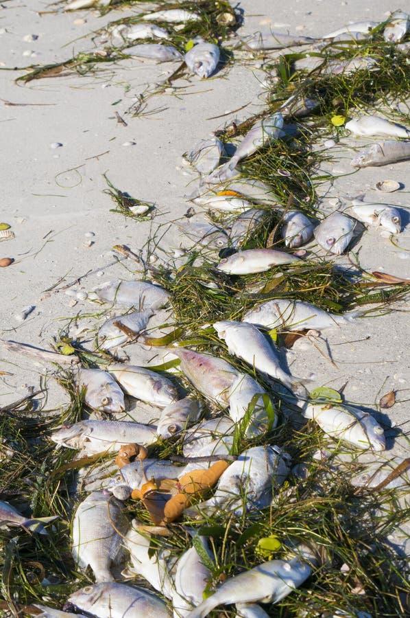 Os peixes inoperantes lavaram acima 'da maré vermelha 'em uma praia fotos de stock