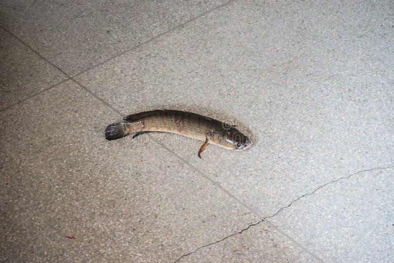 Os peixes listrados da serpente-cabe?a tentam escapar da gaiola imagem de stock