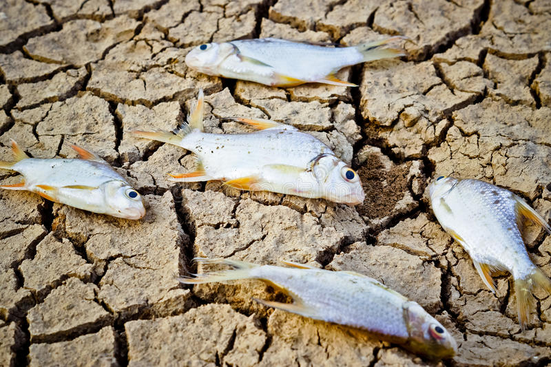 Os peixes morreram em terra rachada foto de stock