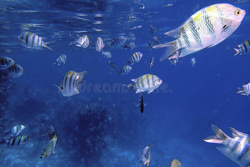 Os peixes nadadores submergem nos recifes de corais no mar azul fotos de stock