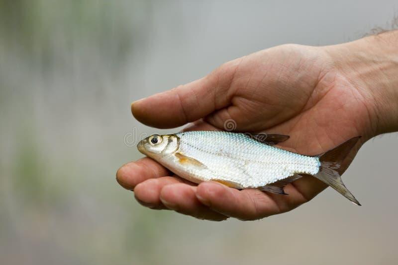 Os peixes pequenos na mão Peixes do rio fotografia de stock