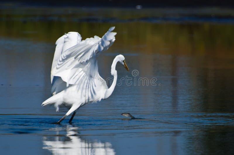 Os peixes que saltam na frente de um grande Egret foto de stock