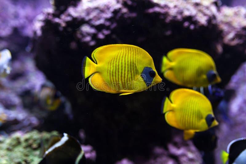 Os peixes tropicais amarelos encontram-se no aquário azul da água do mar do recife de corais fotos de stock royalty free