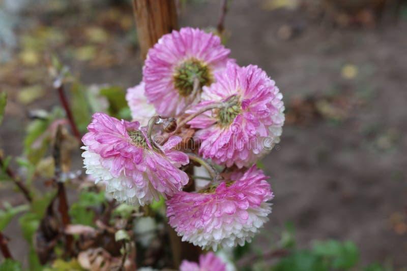 Os pingos de chuva congelaram-se nas flores imagem de stock