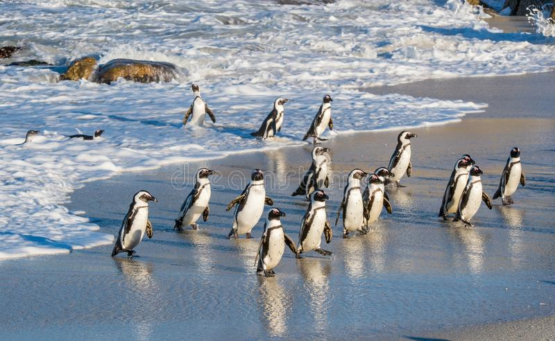 Os pinguins africanos andam fora do oceano no Sandy Beach Demersus africano do Spheniscus do pinguim igualmente conhecido como o  fotografia de stock