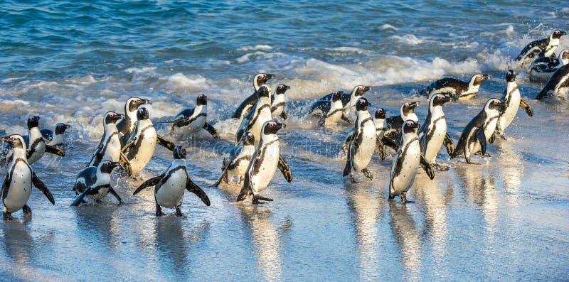 Os pinguins africanos andam fora do oceano no Sandy Beach Demersus africano do Spheniscus do pinguim igualmente conhecido como o  fotos de stock