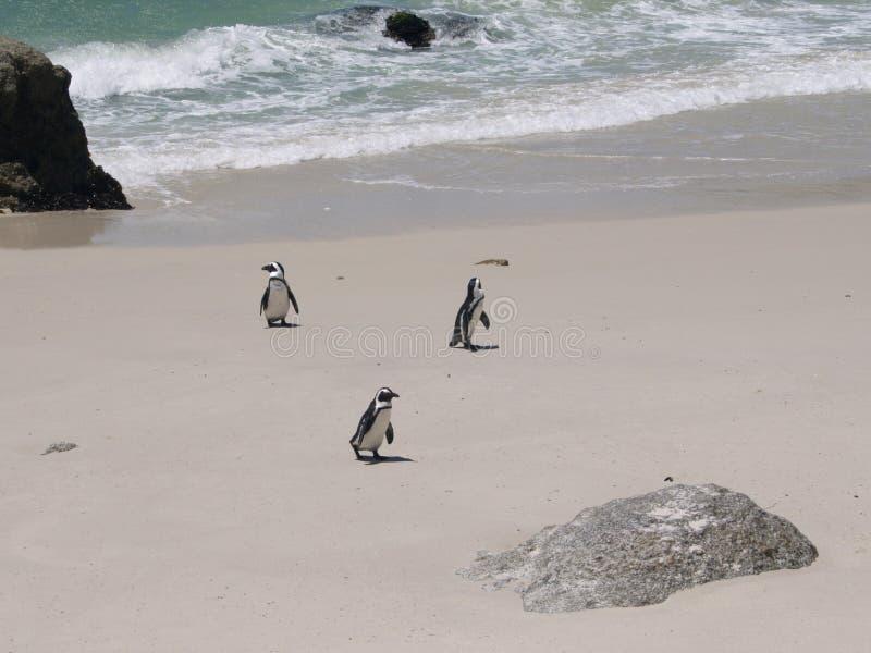 Os pinguins africanos em pedregulhos encalham, Cape Town, África do Sul fotos de stock