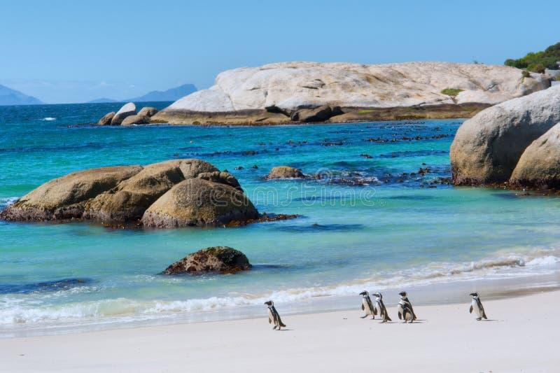 Os pinguins andam na praia ensolarada fotografia de stock royalty free