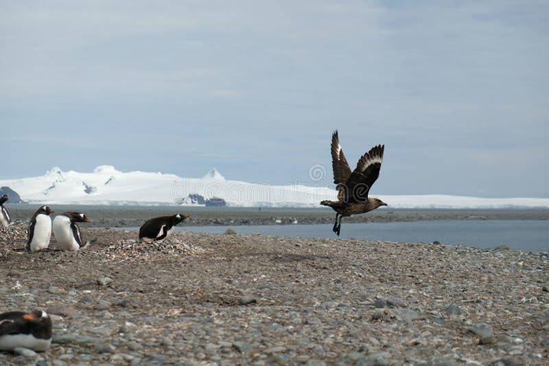 Os pinguins da Antártica Gentoo perseguem afastado um skua de seu ninho imagens de stock