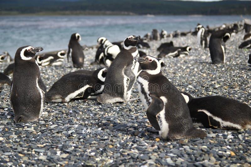 Os pinguins de Magellan aproximam Ushuaia, Patagonia imagens de stock