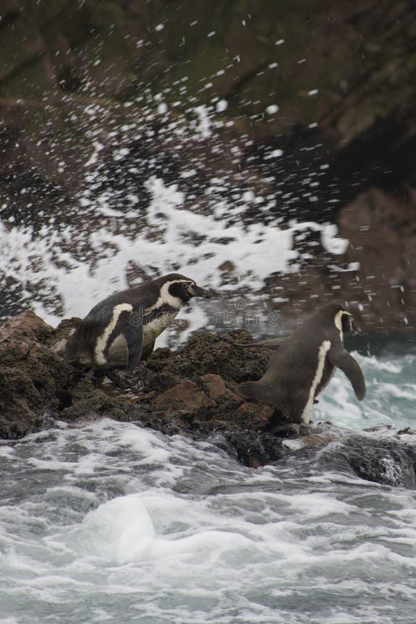 Os pinguins em ?m?rica do Sul preparam-se para uma nadada imagens de stock