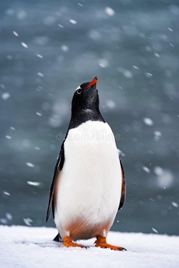 Os pinguins na neve, antártica imagens de stock