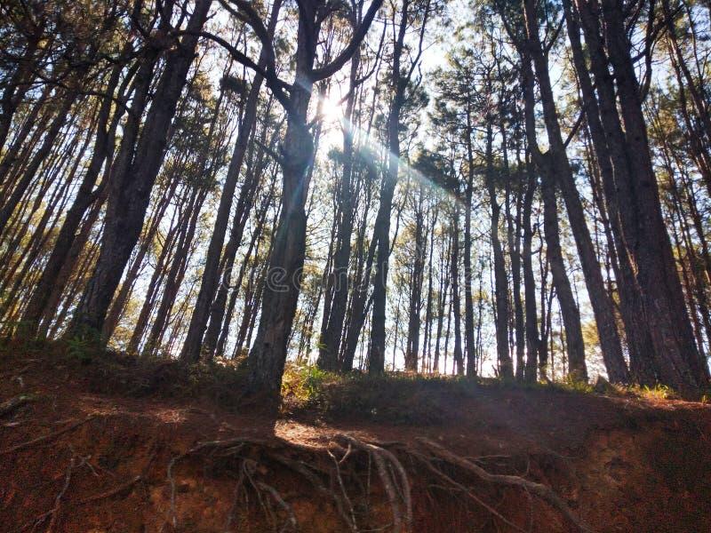 Os pinheiros alinharam em uma floresta pequena com os raios de sol que iluminam os acima imagens de stock royalty free
