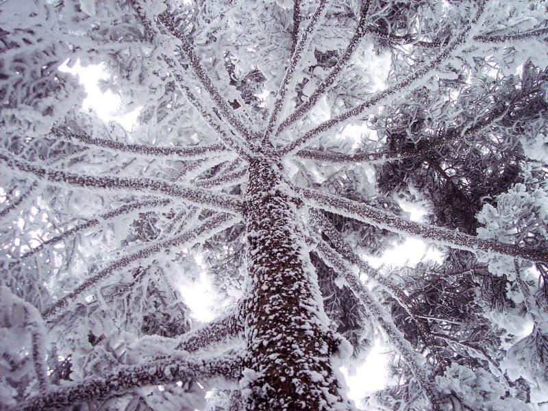 Os pinhos na neve imagens de stock