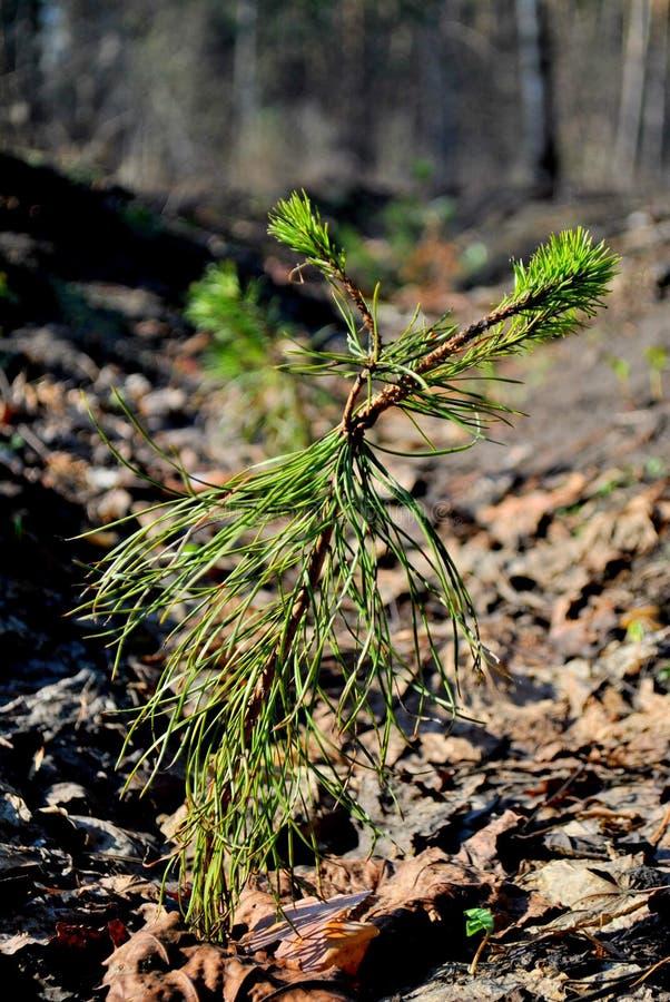 Os pinhos novos, plantaram um ano mais adiantado, cresceram mais fortes e continuam a crescer imagens de stock royalty free