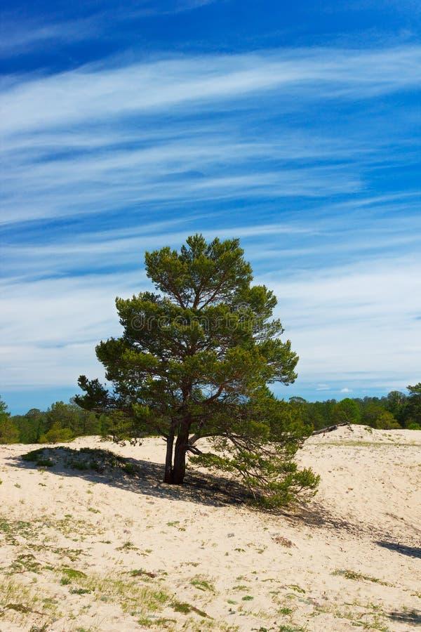 Download Pinhos na ilha Olkhon foto de stock. Imagem de paisagem - 29834096