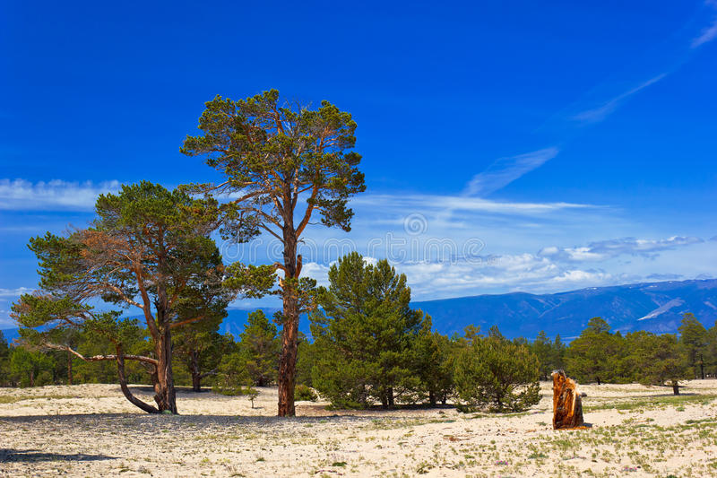 Download Pinhos na ilha Olkhon foto de stock. Imagem de deserto - 29834338