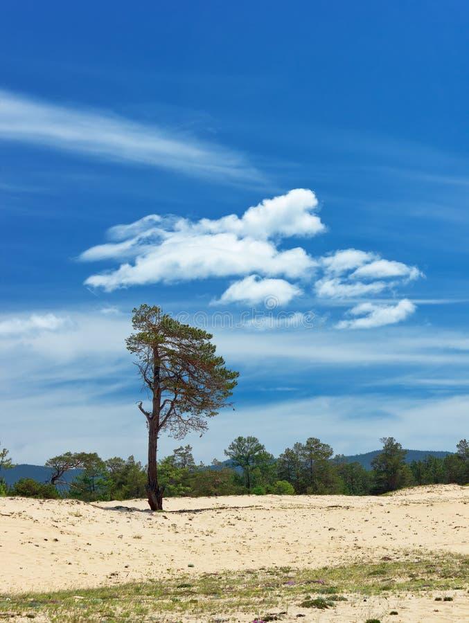 Download Pinhos na ilha Olkhon foto de stock. Imagem de deserto - 29834402