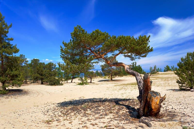 Download Pinhos na ilha Olkhon imagem de stock. Imagem de deserto - 29834599