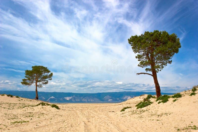 Download Pinhos na ilha Olkhon imagem de stock. Imagem de ásia - 29834937