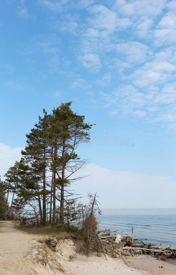 Os pinhos verdes que estão no litoral em Letónia imagens de stock royalty free