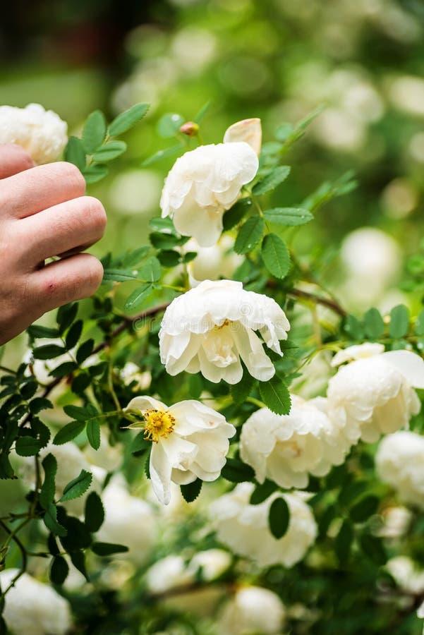 Os plenos verões brancos aumentaram foto de stock