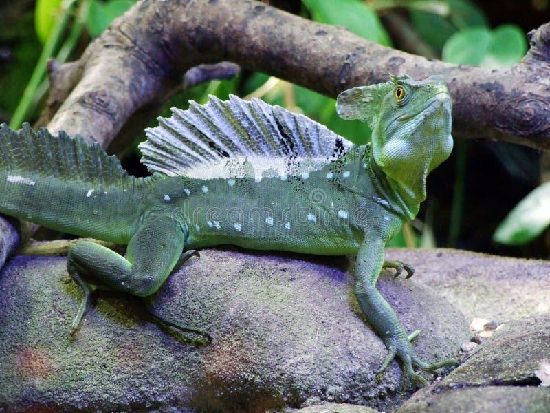 Os plumifrons plumed do Basiliscus do basilisco, o basilisco verde, o basilisco com crista dobro, o lagarto de Jesus Christ ou o  fotografia de stock